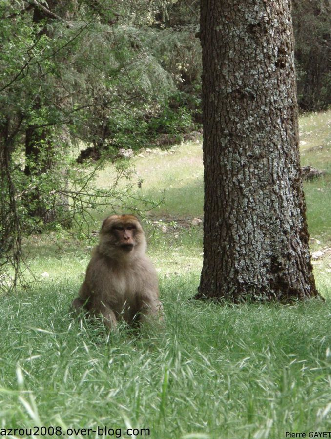 http://a21.idata.over-blog.com/678x900/1/97/40/70/macaques_Barbarie/macaques-de-Barbarie---2/Ifrane-azrou-macaque.jpg